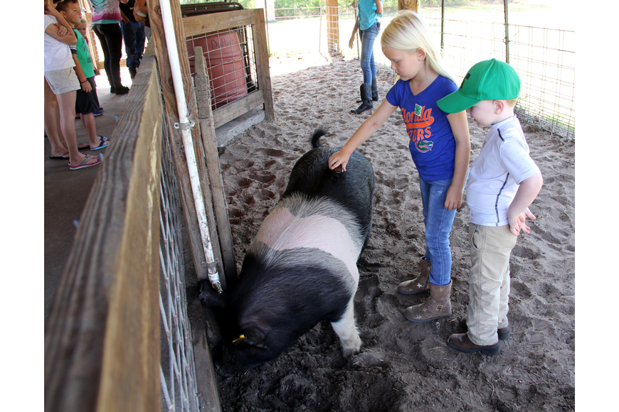 Emma Zwirn brushes a pig while her brother Pax watches at the FFA Farm Day Open House. Photo by Jacque Estes