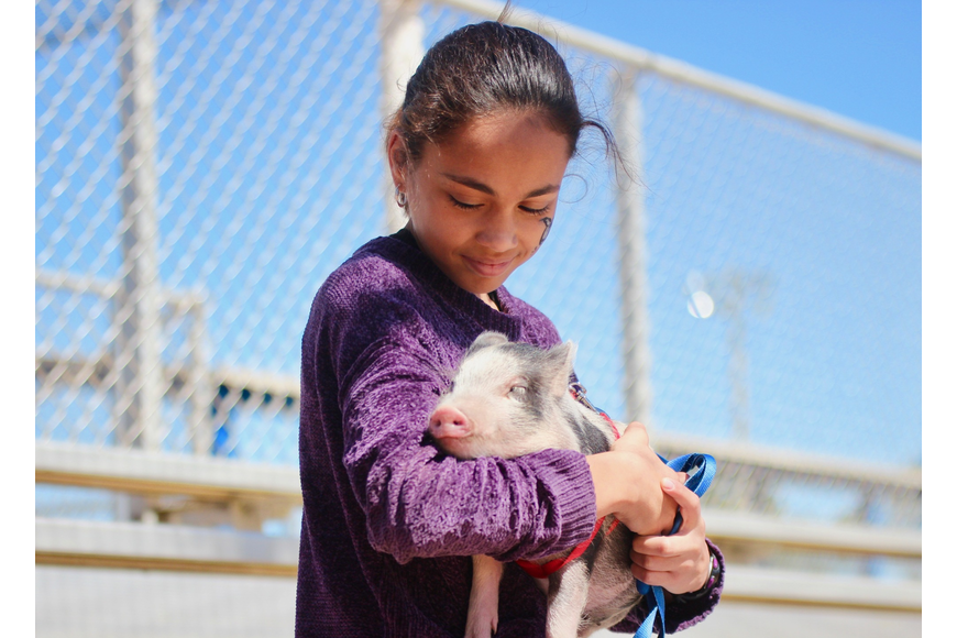 Penny the pig takes a nap in the arms of her owner, Alana Portas, during a little league game. Photo by Ray Boone