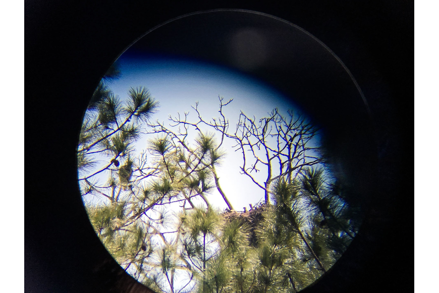 Through a telescope, one of the bald eagle parents can be seen sitting on a branch to the left of the nest, where two eaglets popped their heads up on March 9. Photo by Paige Wilson