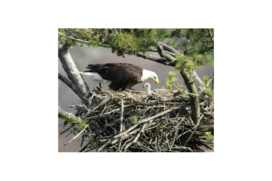 One of the bald eagle parents is seen in the nest with one of the eaglets. Courtesy photo