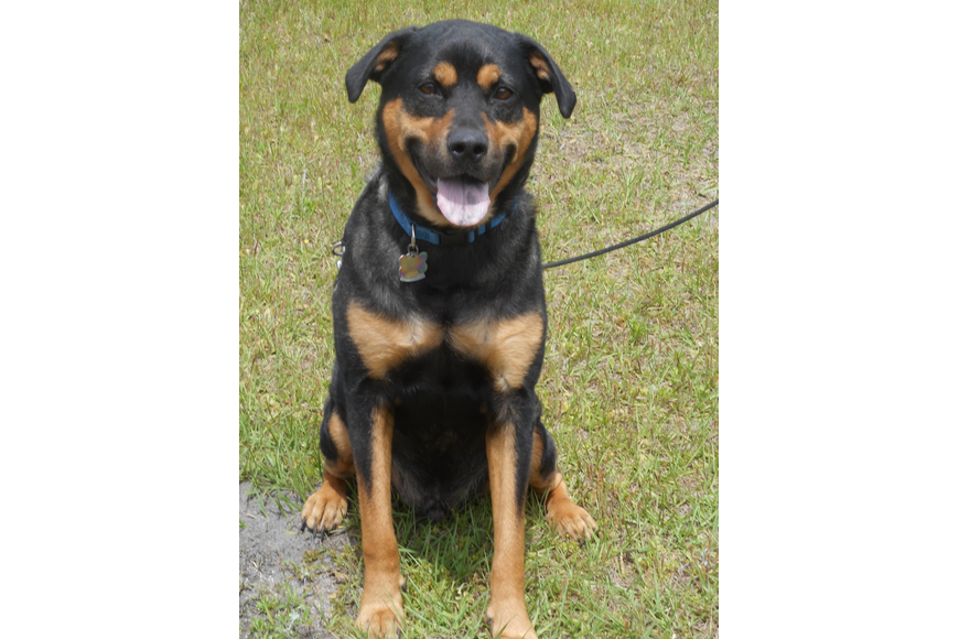 Bruno – 38140733: 4-year-old male lab/rotty mix. Photo courtesy of Katie Share