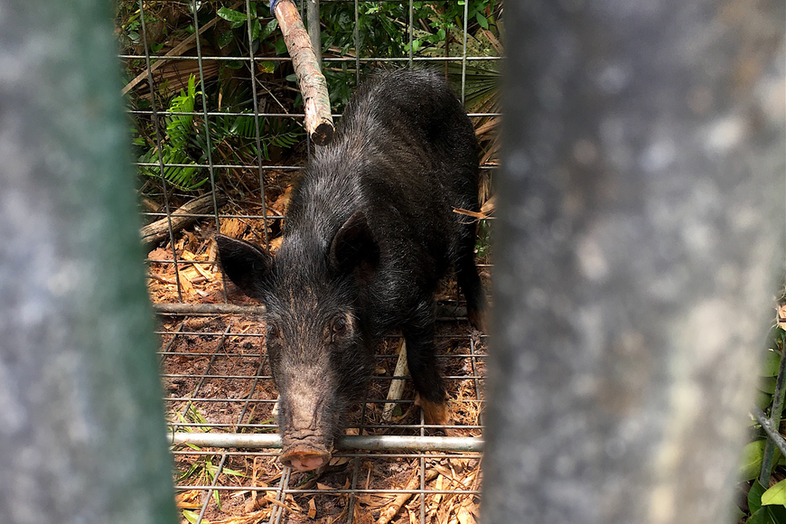 More than a dozen hogs have been trapped and removed, according to residents. Courtesy photo