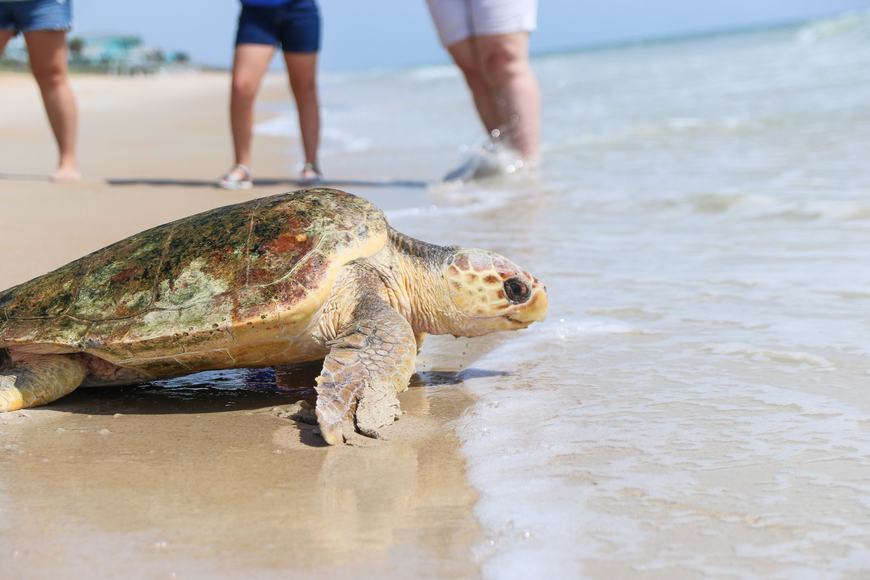 Jupiter, a subadult loggerhead turtle, makes his way to the waves. Photo by Paige Wilson