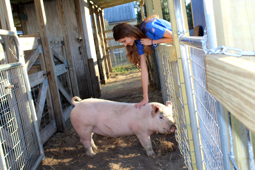 Hope Brock leans gives an appreciative pig a pat during the Agronomy ribbon cutting at BTMS. Photos by Jacque Estes