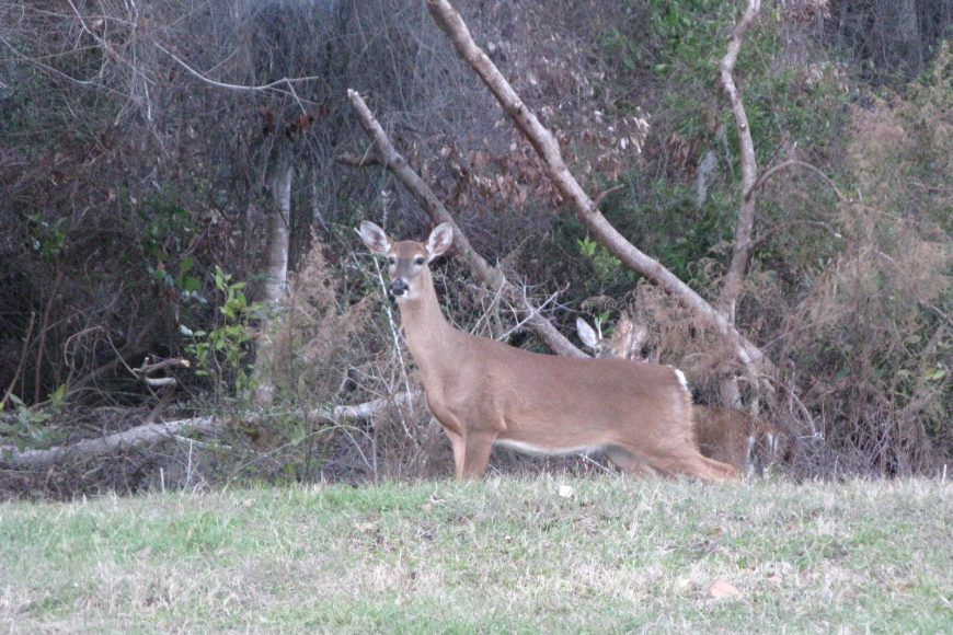 Paul Villecco took this picture of a deer in his backyard.