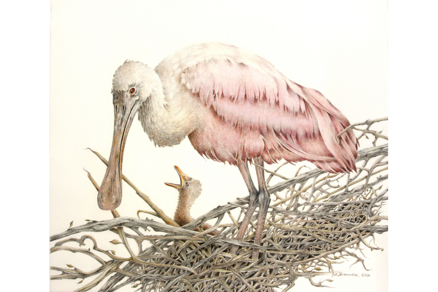 Bill Shoemaker will be showing this colored pencil drawing of a spoonbill.